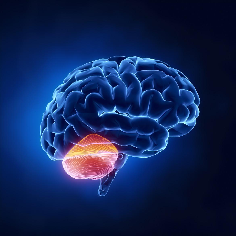 Αποτέλεσμα εικόνας για cerebellum